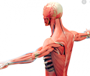 Musculoskeletal System and Pain